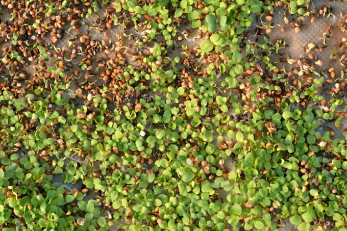 Sprouting Microgreens
