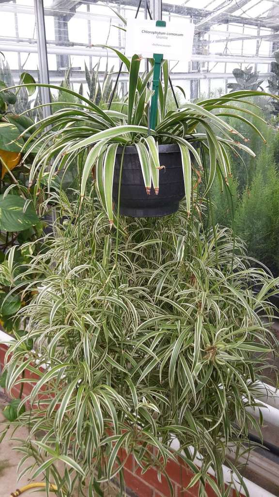 10 Non Toxic Houseplants That Won't Kill Pretty Kitty   Spider Plant   Common House Plants   Jessica Brigham   Magazine Ready for Life