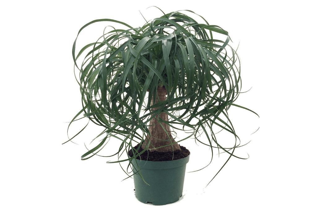 10 Non Toxic Houseplants That Won't Kill Pretty Kitty | Ponytail Palm | Common House Plants | Jessica Brigham | Magazine Ready for Life