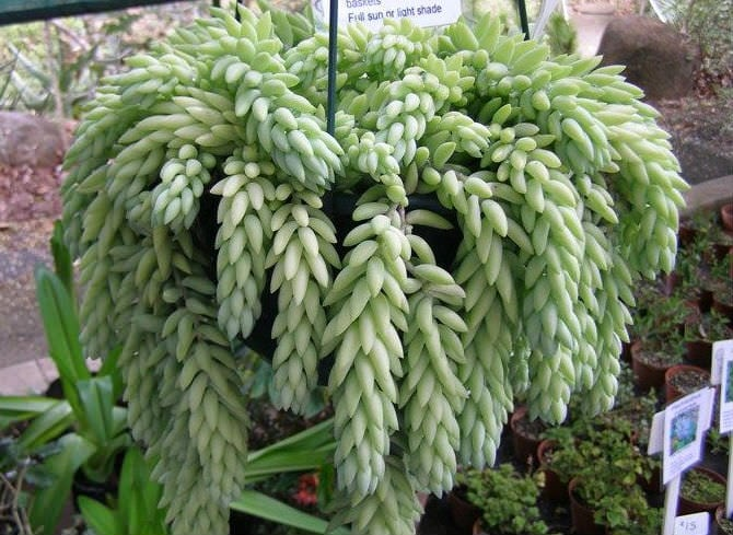 10 Non Toxic Houseplants That Won't Kill Pretty Kitty | Burro's Tail | Common House Plants | Jessica Brigham | Magazine Ready for Life
