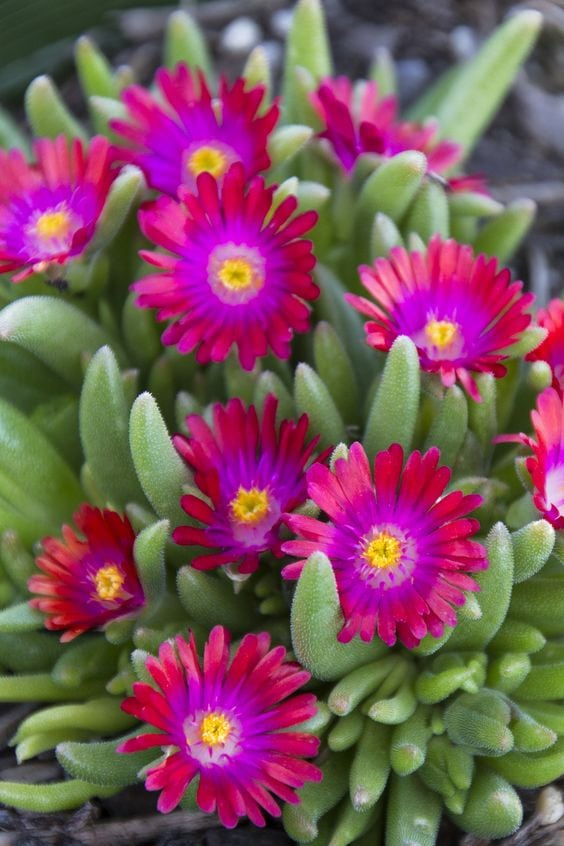 10 Non Toxic Houseplants That Won't Kill Pretty Kitty | Ice Plant | Common House Plants | Jessica Brigham | Magazine Ready for Life