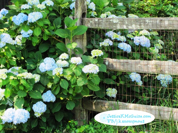 hydrangea fence watermarked