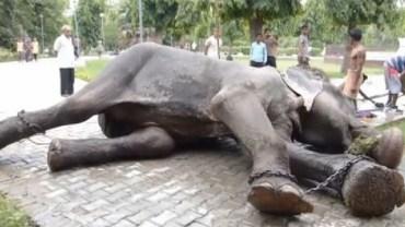 Ten słoń został uratowany po 50 latach ciężkiej niewoli. W momencie uwolnienia w jego oczach pojawiły się łzy…