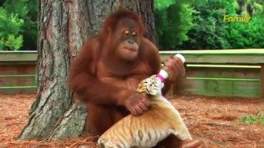 To chyba najlepszy ojciec zastępczy, jakiego kiedykolwiek widziałam. To, co robi dla tych małych tygrysiątek, jest godne podziwu!