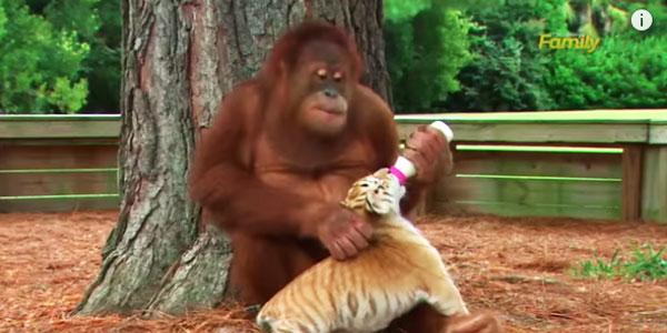 ojciec-orangutan