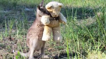 Osierocony kangurek znalazł pocieszenie w ramionach pluszowego misia. To zdjęcie w kilka dni podbiło serca ludzi na całym świecie!