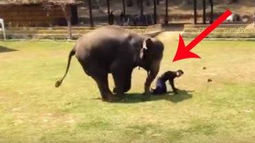 Opiekun tego słonia nagle upadł na ziemię. Reakcja zwierzęcia jest niesamowita!