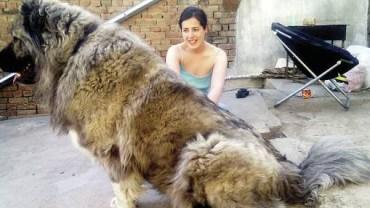Te masywne psy były wykorzystywane do polowań na niedźwiedzie i są absolutnie ogromne