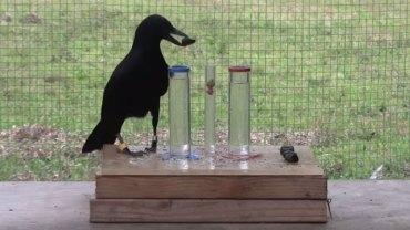 """Określenie """"ptasi móżdżek"""" jest bardzo krzywdzące dla ptaków, a zwłaszcza wron, bo to nader inteligentne zwierzęta!"""