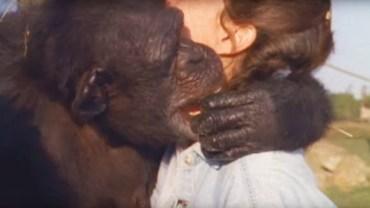 Szympans nigdy nie zapomniał tego, co zrobiła dla niego ta kobieta. Po 18 latach spotkali się ponownie