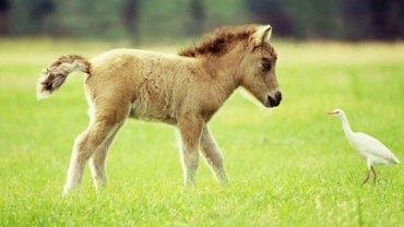 Słyszeliście kiedyś nazwę Falabella? To rasa miniaturowych koni, które są tak słodkie, że pokocha je każdy!