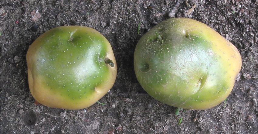 zielone-ziemniaki