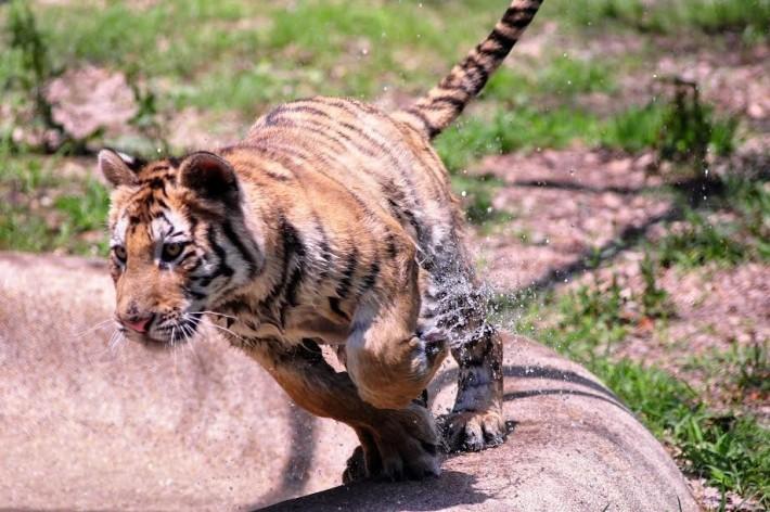 aasha-tiger2