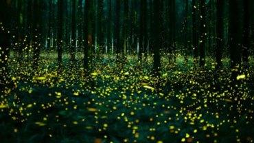 Natura jest nieskończenie piękna i aby się o tym przekonać, wystarczy zajrzeć do japońskich lasów w porze godowej świetlików