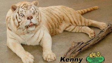 Białe tygrysy są rzadkością, więc ludzie na siłę próbują je rozmnażać. Niestety chów wsobny skutkuje różnymi deformacjami, jak w przypadku Kenny'ego
