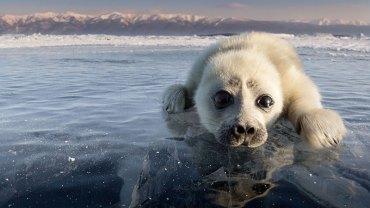 Alexey Trofimov spędził 3 lata nad Bajkałem, by jako pierwszy sfotografować tamtejsze foki. Jego cierpliwość okazała się warta efektów
