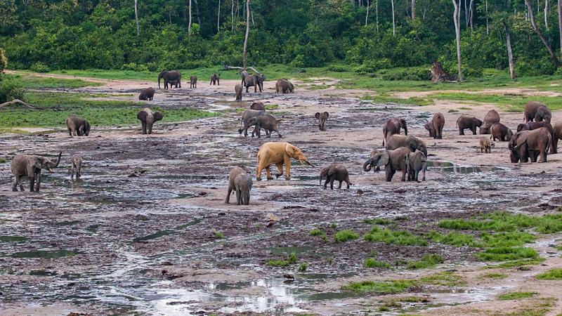 Złoty słoń przykuł uwagę weterynarza, dopiero, gdy za nim poszedł, okazało się dlaczego jest takiego koloru