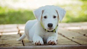 19 najdroższych ras psów na świecie. Dalibyście tyle pieniędzy za czworonoga czy lepiej jest przygarnąć zwierzaka ze schroniska?
