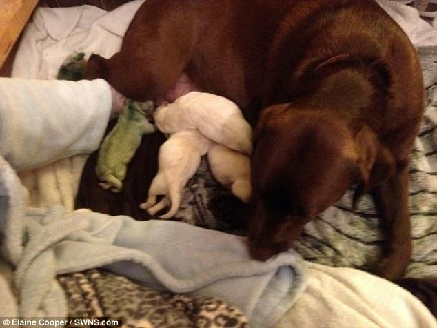 Czekoladowy labrador rodzi zielonego szczeniaka. To trzeci taki przypadek na świecie!