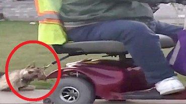 Mężczyzna ciągnął po chodniku psa przywiązanego do elektrycznego wózka i twierdził, że wyprowadza go na spacer! Poziom lenistwa Amerykanów przeraża