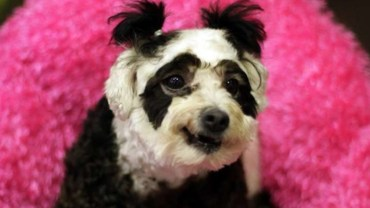 Farbują psy na pandy i tygrysy, aby sprzedać je po wyższych cenach! Czy ten koszmar wreszcie się skończy?