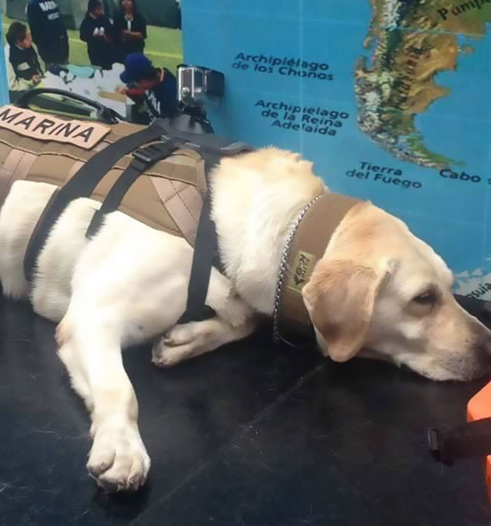 Frida saved 52 lives and did not lunge in search of other survivors of the earthquake in Mexico. 6