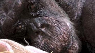 Umierająca 59-letnia szympansica ze łzami w oczach żegnała swojego opiekuna. To nagranie poruszy nawet najtwardsze serce