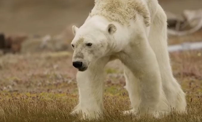 This heart-rending video about a starving polar bear brutally shows how global warming destroys wildlife 3