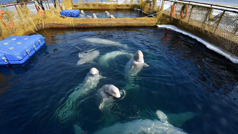 """Rosjanie przetrzymują w niewoli prawie 100 wielorybów! O zamknięcie """"wielorybich więzień"""" apeluje cały świat"""