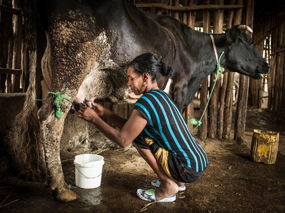 """""""Dojenie krów to napaść seksualna!"""" - przekonują specjaliści. Są dotykane tam, gdzie nie trzeba"""