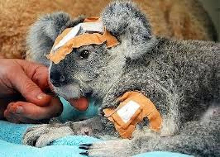 Szok! Rząd Australii jest przeciwny ratowaniu zwierząt. Znalezione kangury i koale mają być zabijane!