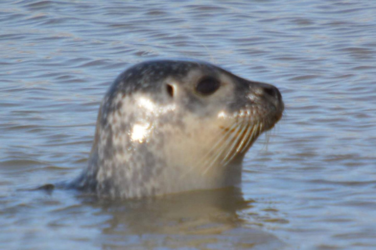 Seal in the Sea