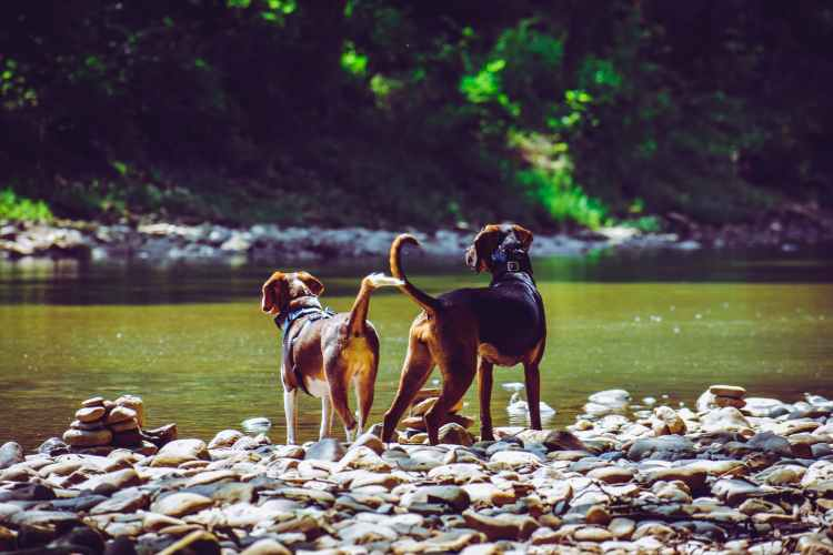 two adult harrier dogs standing beside river