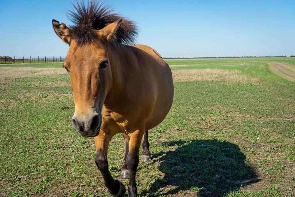 The Przewalski's horses