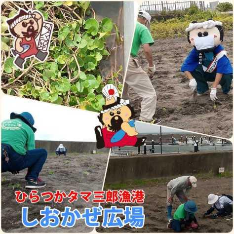 しおかぜ広場観光協会ハマヒルガオ植栽