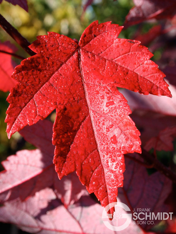 Image result for redpointe red maple tree