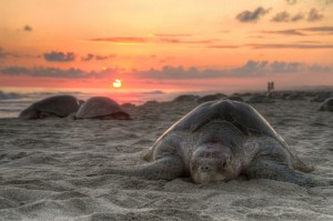 Turtle on beach at sunset