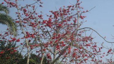 Photo of ঝিনাইদহে চোখ ধাঁধানো সৌন্দর্য শিমুল ফুল