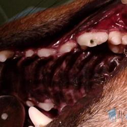 Zubní kaz u psů. Na obrázku je patrná dutina po ošetření zubního kazu, která je připravena pro uzavření zubní výplní.
