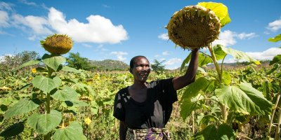 How small sunflower plants envisage going formal in Dodoma