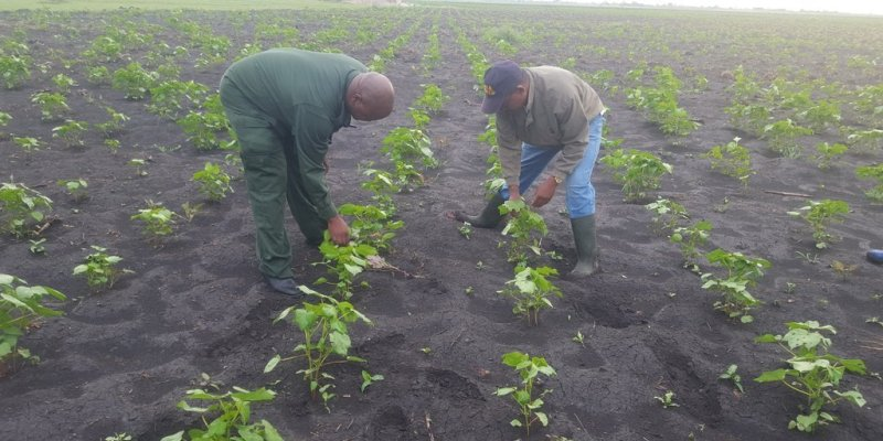 New cotton buying system to benefit farmers