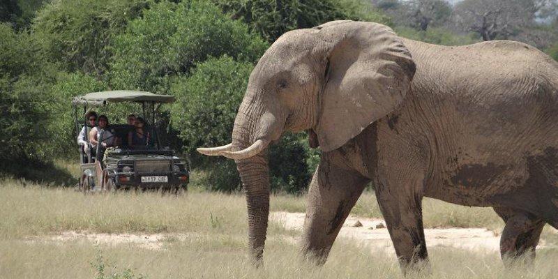 African bush Elephant's ears