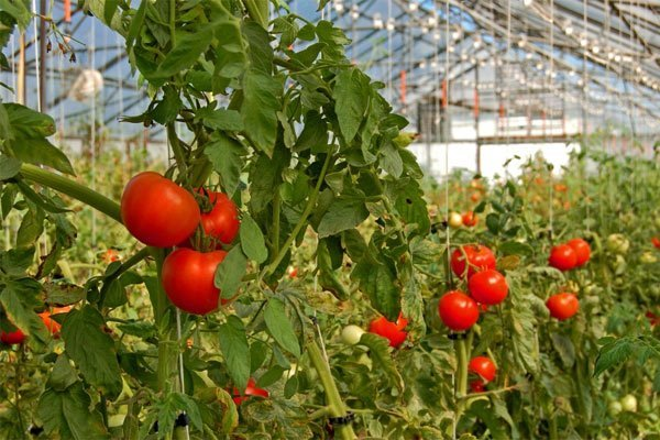 Tomato firm in Tanzania