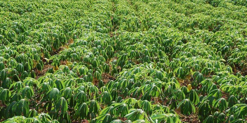 IITA's mobile app to track cassava seeds now