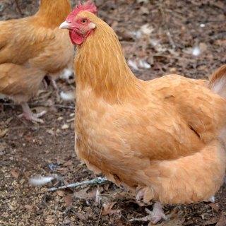 Tabitha's Heart: Farm Hen