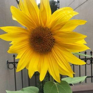 Journey: Sunflower