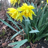Finishing Challenge: Frilly Daffodils