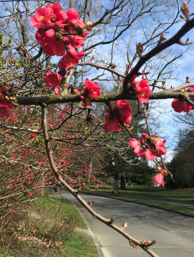 Get Ready: Flowering Quince is a sign of Spring in my mind!