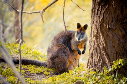 Black Wallaby im Tower Hill National Park