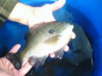 This bluegill is 2 1/4 lbs.